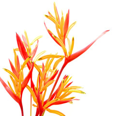 Wall Mural - Heliconia 'Rubra'