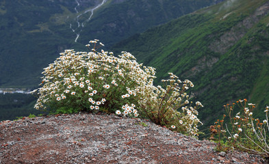 Caucasus mountain landscape and bush of camomiles