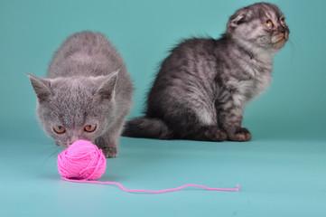 two Scottish straight fold kittens playing