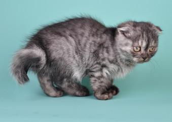 Scottish fold  kitten with crooked tail