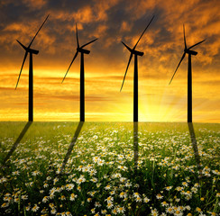 field of marguerites with wind turbines in the sunset