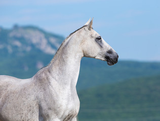 Arabian horse looking forward.