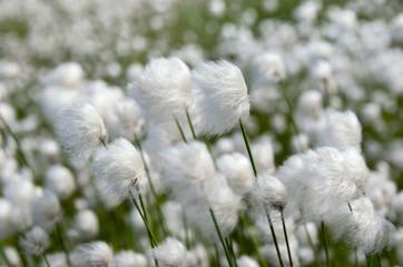 Cotton Grass. Windy weather.