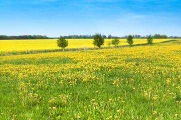 Fototapete - Endlich Frühling, Löwenzahn, gelbe Blumenwiese