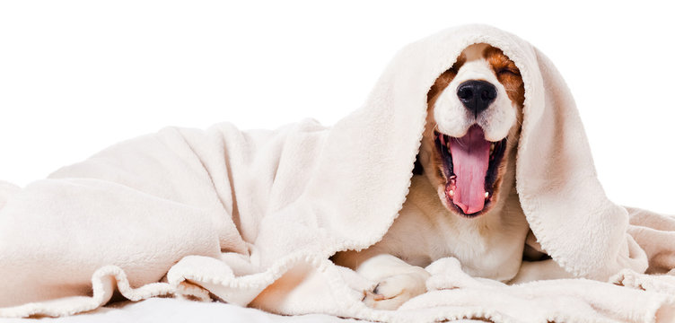 yawning dog  on  white