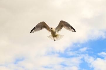 beautiful seagull in flight at sea Helsinki