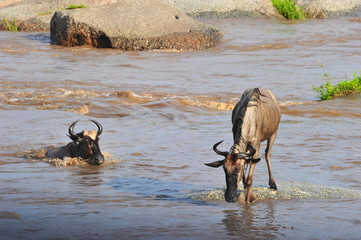 Mara River crossing - The Great MIgration