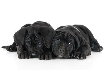 adorable cane corso puppies