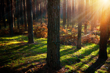 Fototapete - Misty Old Forest. Autumn Woods