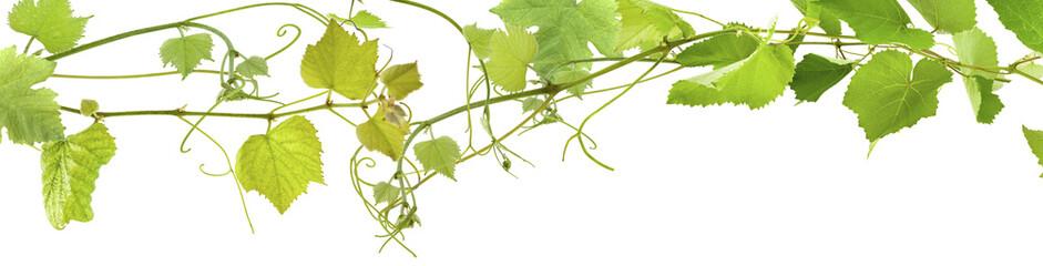 vrilles de vigne Fototapete