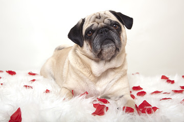 pug on a white tablecloth with roses
