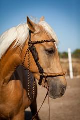 brauner französischer traber pferd portrait im freien
