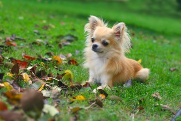 Longhair chihuahua lying in grass, autumn