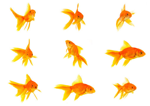 Set of gold fishes