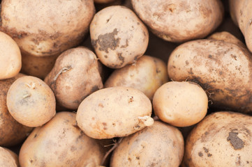freshly harvested potatoes on the ground