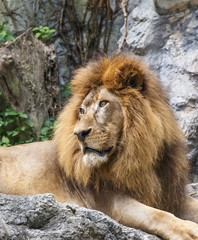 Lion,King of the Jungle