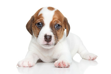 Jack Russell dog puppy portrait