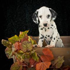 Fall Dalmatian Puppy