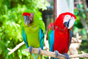 two parrots cockatoo