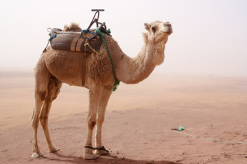 Papiers peints Chameau Camel with tied legs and seat standing in sand storm