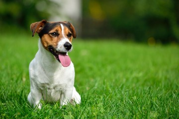 Jack russell terrier in green garden