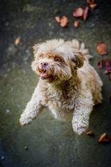 Puschelhund