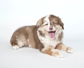 Wall Mural - laughing Puppy