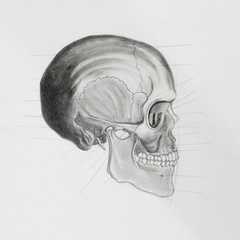 side view of human skull. medical illustration