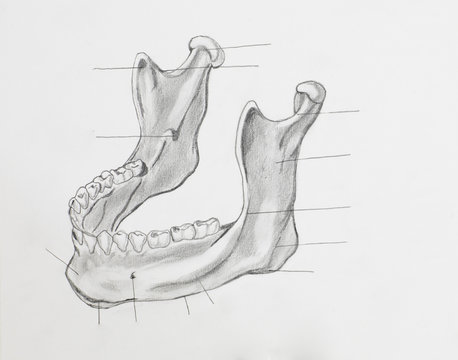 Detail of mandible pencil drawing on white paper
