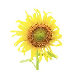 Sunflower plant isolated on white background.