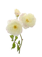 a bunch of wild white roses isolated on white background