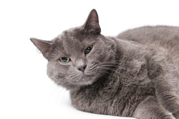 Young adult british shorthair cat with green eyes