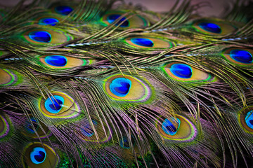 Peacock feathers as background