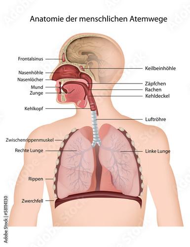 Anatomie der menschlichen Atemwege\