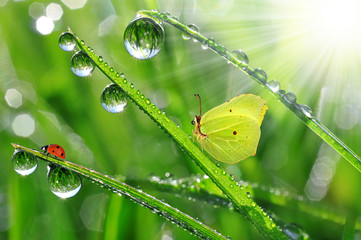 Wall Mural - fresh morning dew with butterfly and ladybird