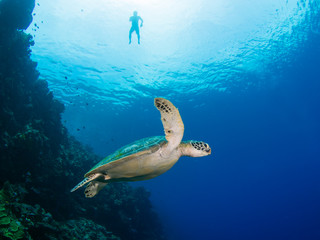 Green turtle and snorkeler