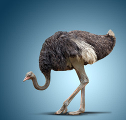 Fotobehang Struisvogel ostrich