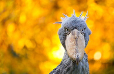 Abu markub, Shoebill bird