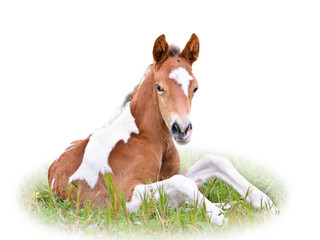 Horse foal resting in grass isolated on white.