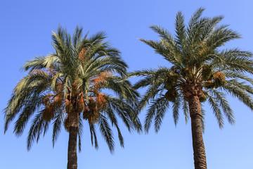 Palmen mit Dattelfrüchten