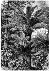Chamaerops - Dwarf Palm Tree