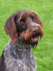 Portrait of Bohemian Wire-haired Pointing Griffon