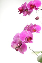 Phalaenopsis. Purple orchid on white background