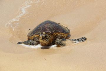 Schildkröte an der Turtle Bay von Oahu (Hawaii, USA)