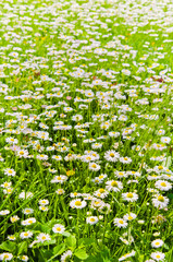 Glade beautiful little daisy, close-up