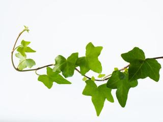 緑の蔦の新葉