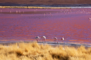 Flamingo - Laguna Colorada