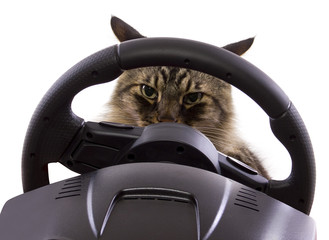 brown maine coon cat driving a steering wheel