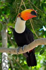Foto op Plexiglas Toekan toucan outdoor - Ramphastos sulphuratus