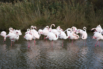 Flock of Flamingos in Camargue, France